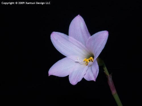 zephyranthes-grandiflora-2-vi-09-i-s.jpg