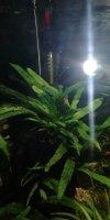 dwarf needle leaf java fern.jpg