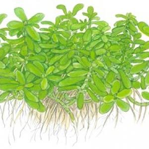 Bacopa Compact Uk Aquatic Plant Society